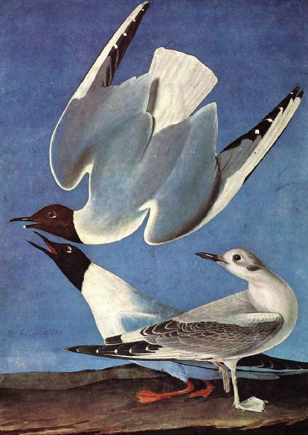 Audubon, John James: Bonaparte's Gull. Ornithology Fine Art Print.  (001014)
